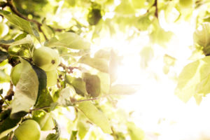 Apples on tree in the back light